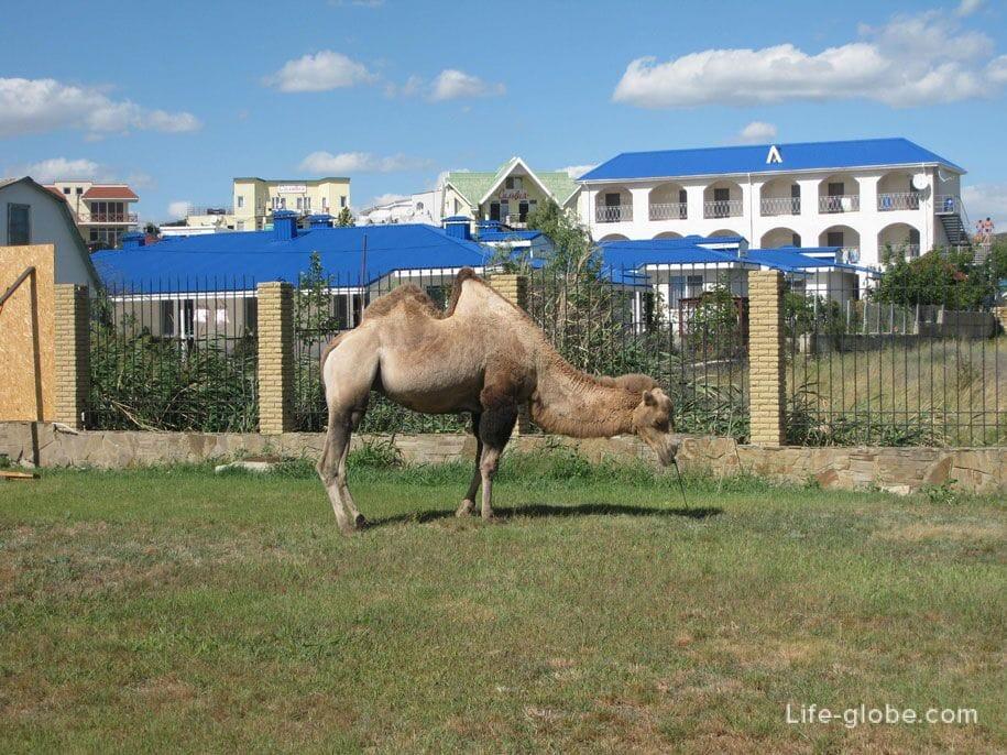 Верблюд (живой), Коктебель