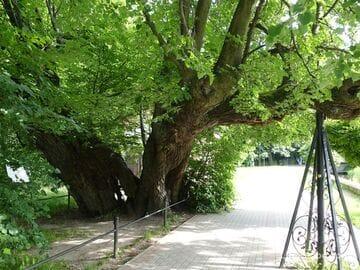 450-летняя Липа в Светлогорске - памятник живой природы