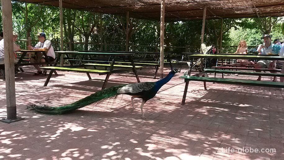 Павлины в парке Терра Натура, Бенидорм