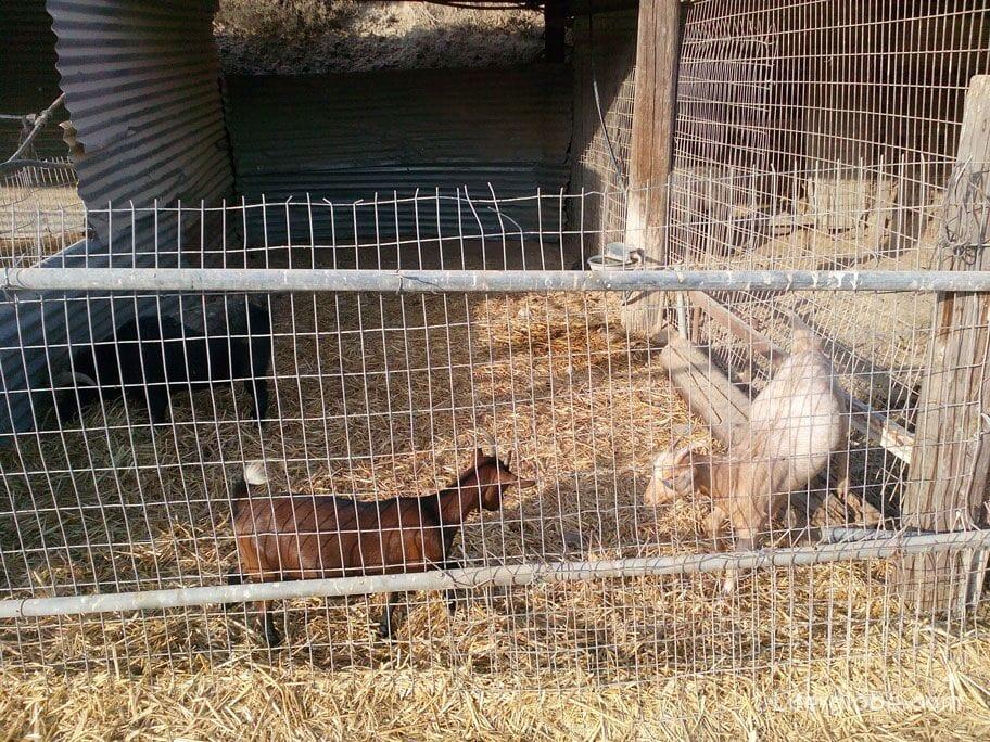 farm animals in Cyprus