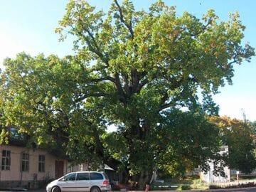 Памятник живой природы Черешчатый дуб, город Ладушкин Калининградской области