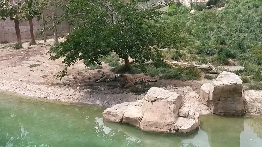Тигры в парке Терра Натура, Испания