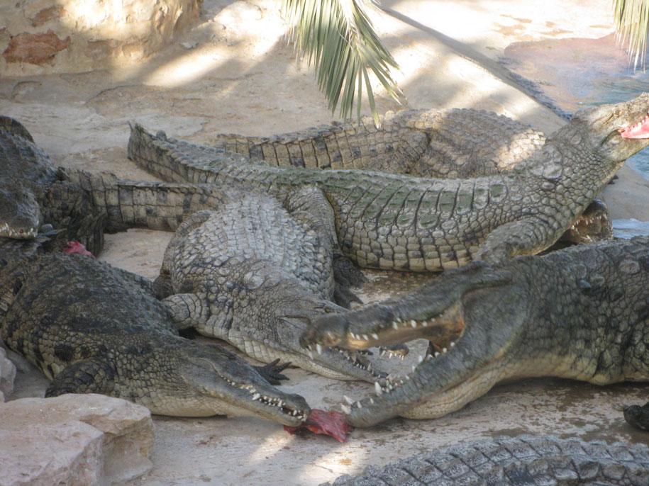 Достопримечательности острова Джерба - Крокодиловая ферма