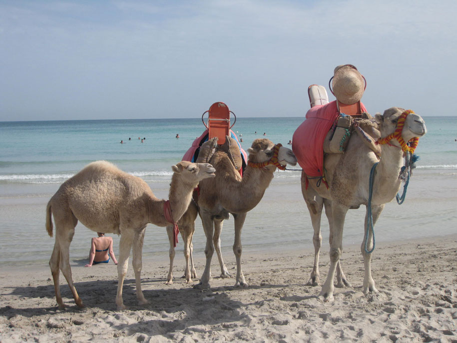 Верблюды на пляже отеля Джерба Плаза, Тунис